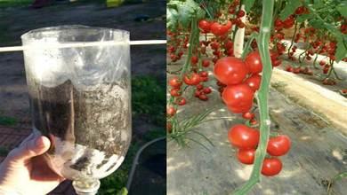 番茄不用花錢買, 用個塑膠瓶在家倒著種, 掛果多又大又可口