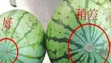 買西瓜時,挑母西瓜甜?學會這一絕招,輕鬆區分西瓜的「公母」