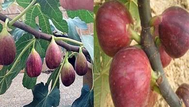 在家就能種無花果,記住2點「果子長的多又大」全家人都吃不完
