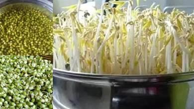 自己在家種豆芽,只需一個平底鍋,4天收一茬,安全美味又省錢!