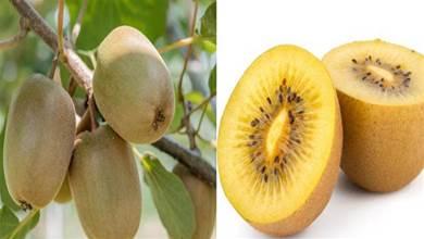 買獼猴桃時,無論什麼品種,只要發現這3點,基本都是激素獼猴桃