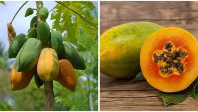 買木瓜就要挑「大肚子婆」!老瓜農教你:這3種木瓜再便宜也不買