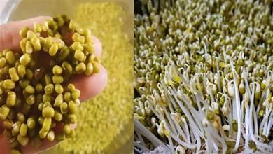 2兩綠豆能生出1大盆豆芽,掌握了方法和技巧,4天就能吃了