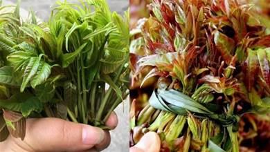 買香椿時,原來「紅葉」和「綠葉」相差甚大!知道以後別再亂買了