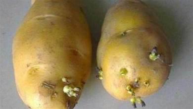 發芽的土豆還能不能吃?這麼多年一直誤解了,越早叮囑家中人越好