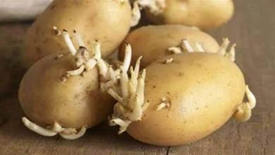 發芽的土豆不要扔,留在家中真「值錢」,太多人不懂,白白浪費掉