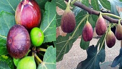 家裡種無花果,記住這3點,果子長的多又大,全家人都吃不完!
